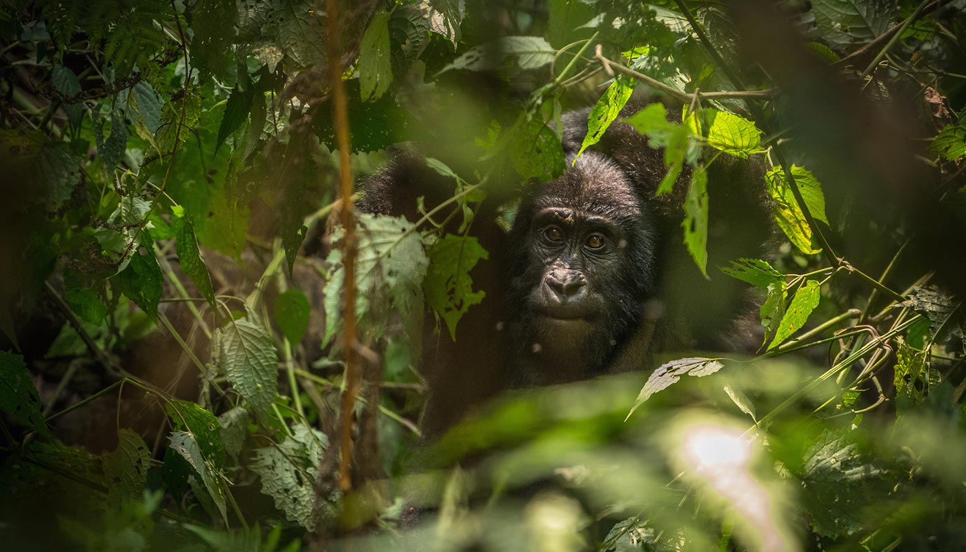 Mountain Gorilla Trekking